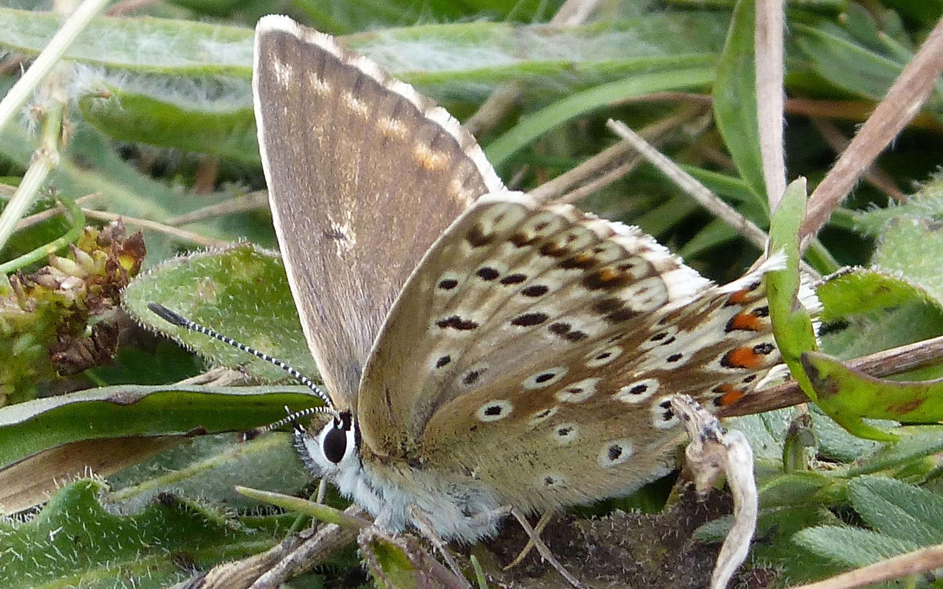 Argus bleu nacré - femelle (Crédits: gailhampshire - Flickr)