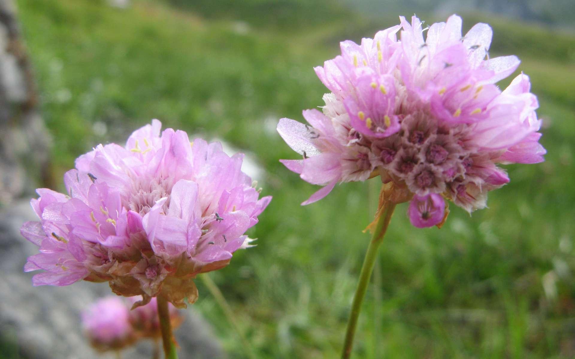 Armérie des Alpes - fleurs (Crédits : Léa Charbonnier)