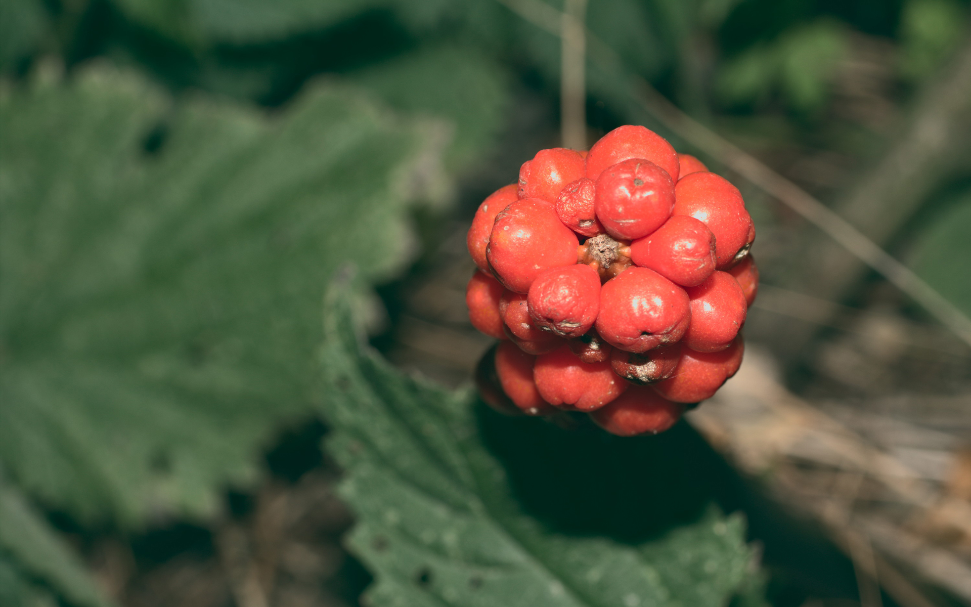 Arum tacheté. Crédit : Stanze - Flickr