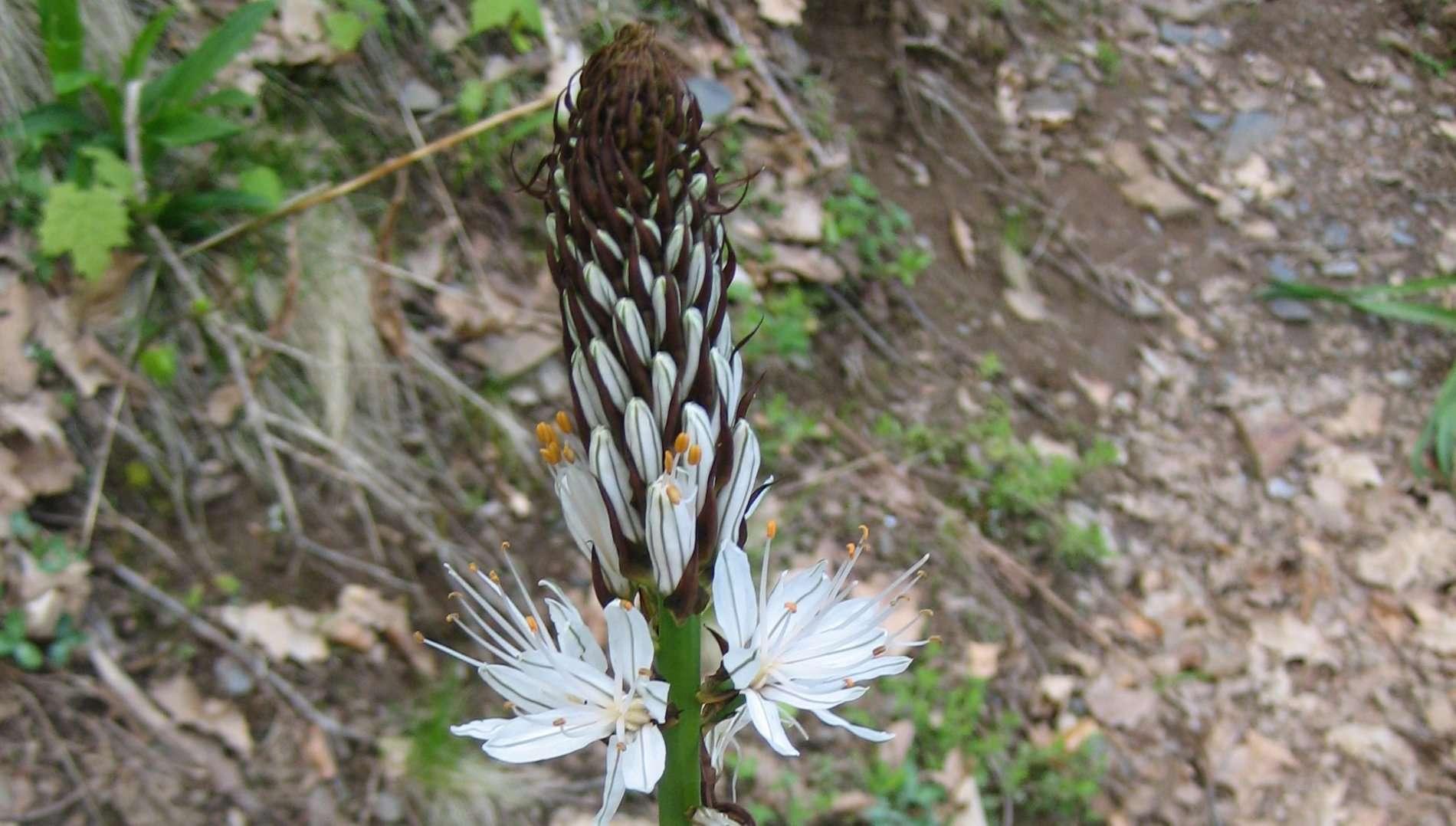 Asphodèle blanc, début de floraison