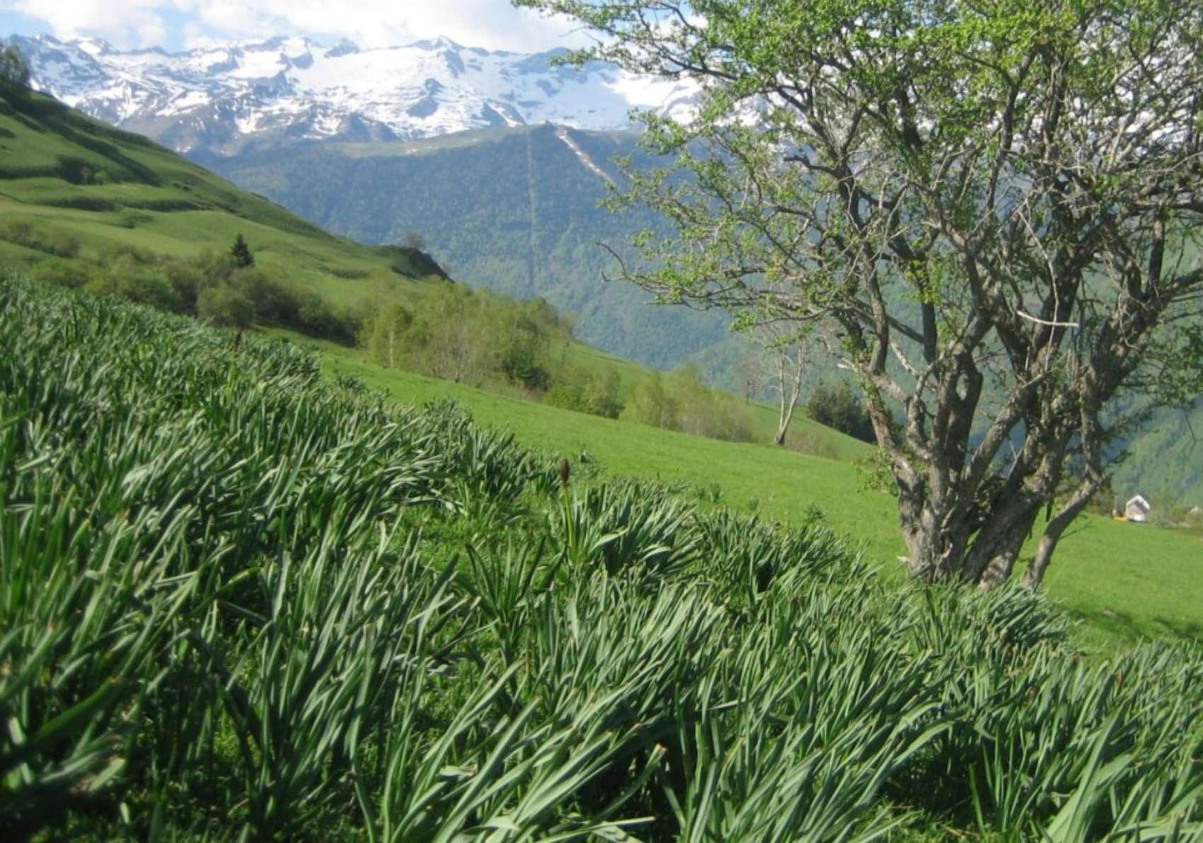 Asphodèle blanc au printemps (crédits: Evelyne Liauzun)