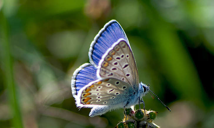 Azuré (Crédits: katya - flickr)