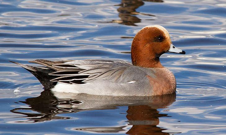 Canard siffleur mâle (Crédits: Aero pixels - flickr)