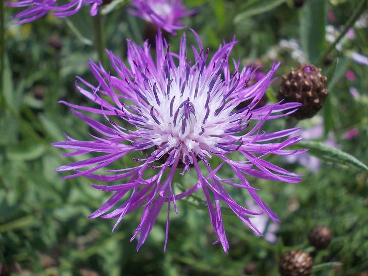 Centaurée Jacée (crédits DECARPENTRIE)