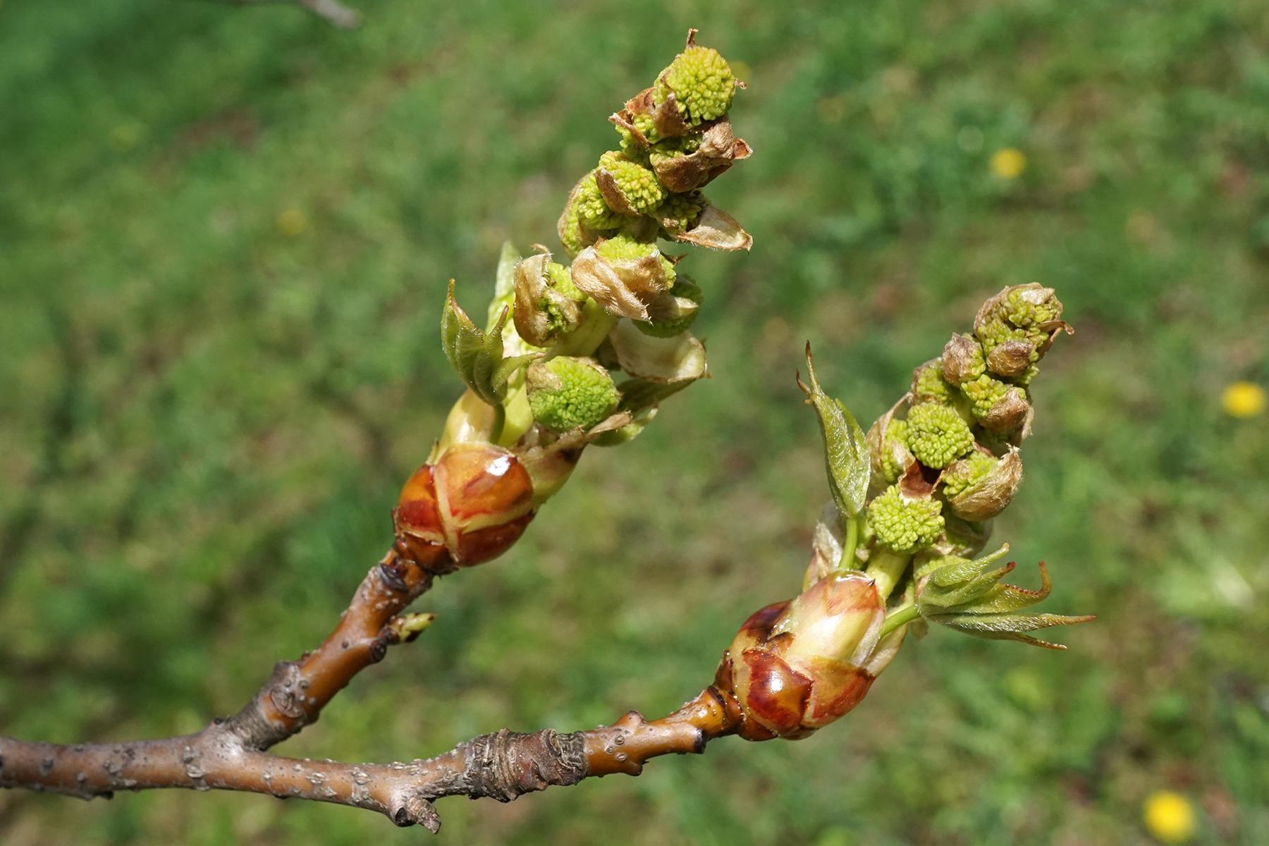 Copalme,châtons mâles. Crédits : Plant Image Library - Flickr