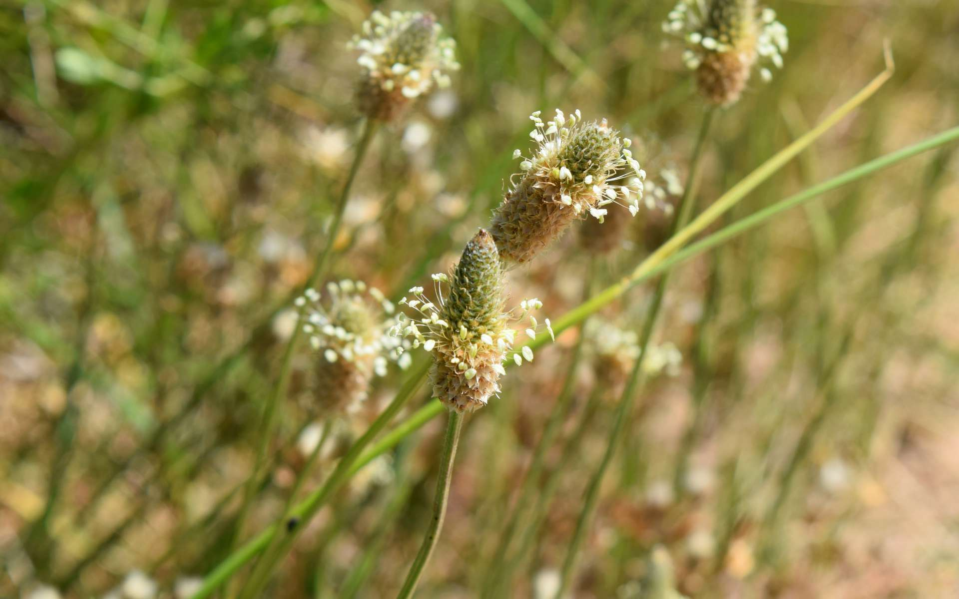 Plantain lancéolé - fleurs (Crédits : Léa Charbonnier)