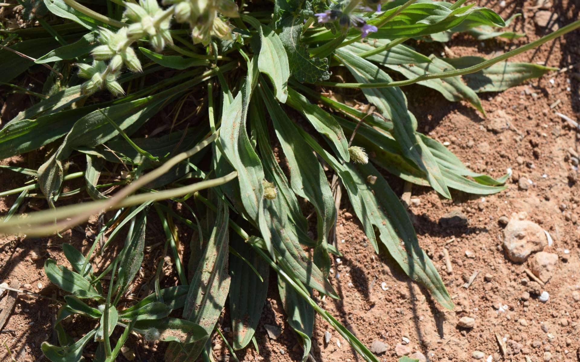 Plantain lancéolé - feuilles (Crédits : Léa Charbonnier)