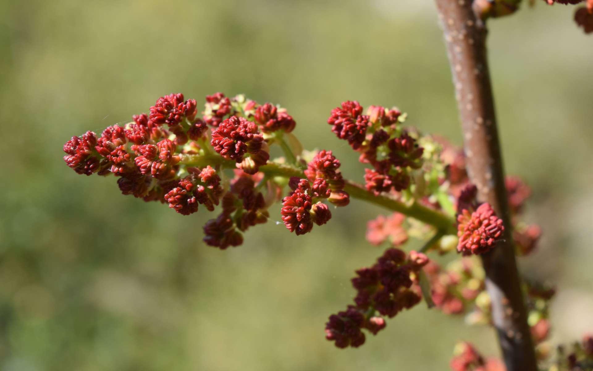 Sumac vinaigrier (Crédits : Sabine Meneut)