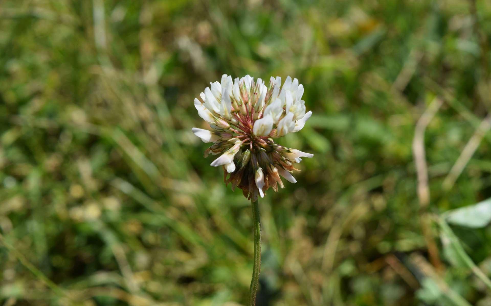 Trèfle blanc - fleurs (Crédits : Léa Charbonnier)
