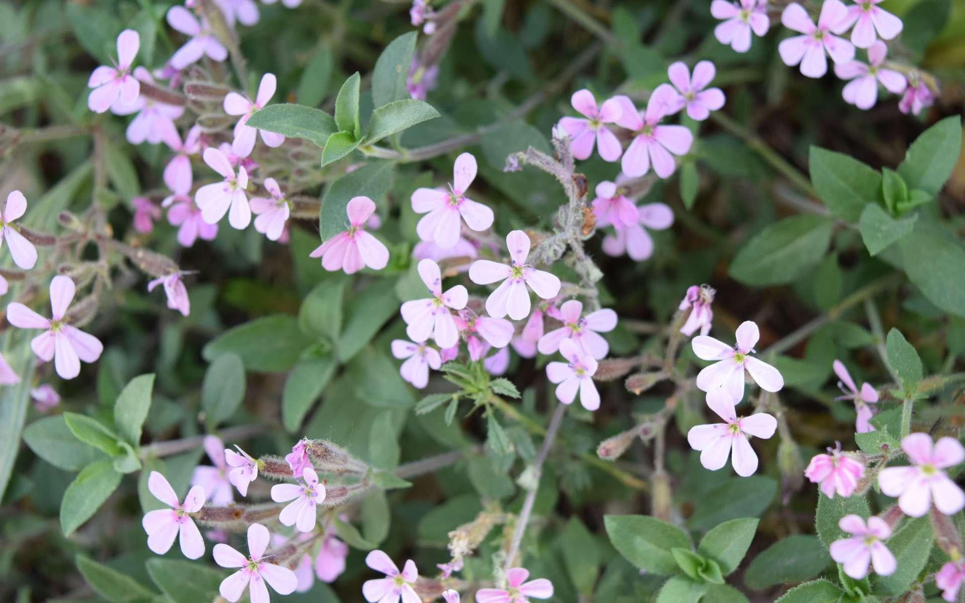 Saponaire faux basilic - fleurs (Crédits : Léa Charbonnier)