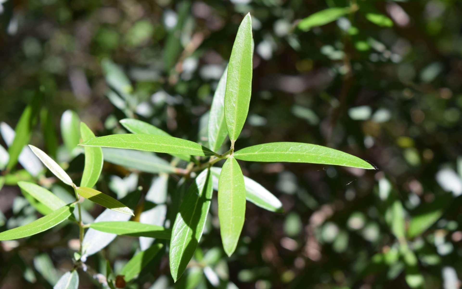 Filaire à feuilles étroites (Crédits : Léa Charbonnier)