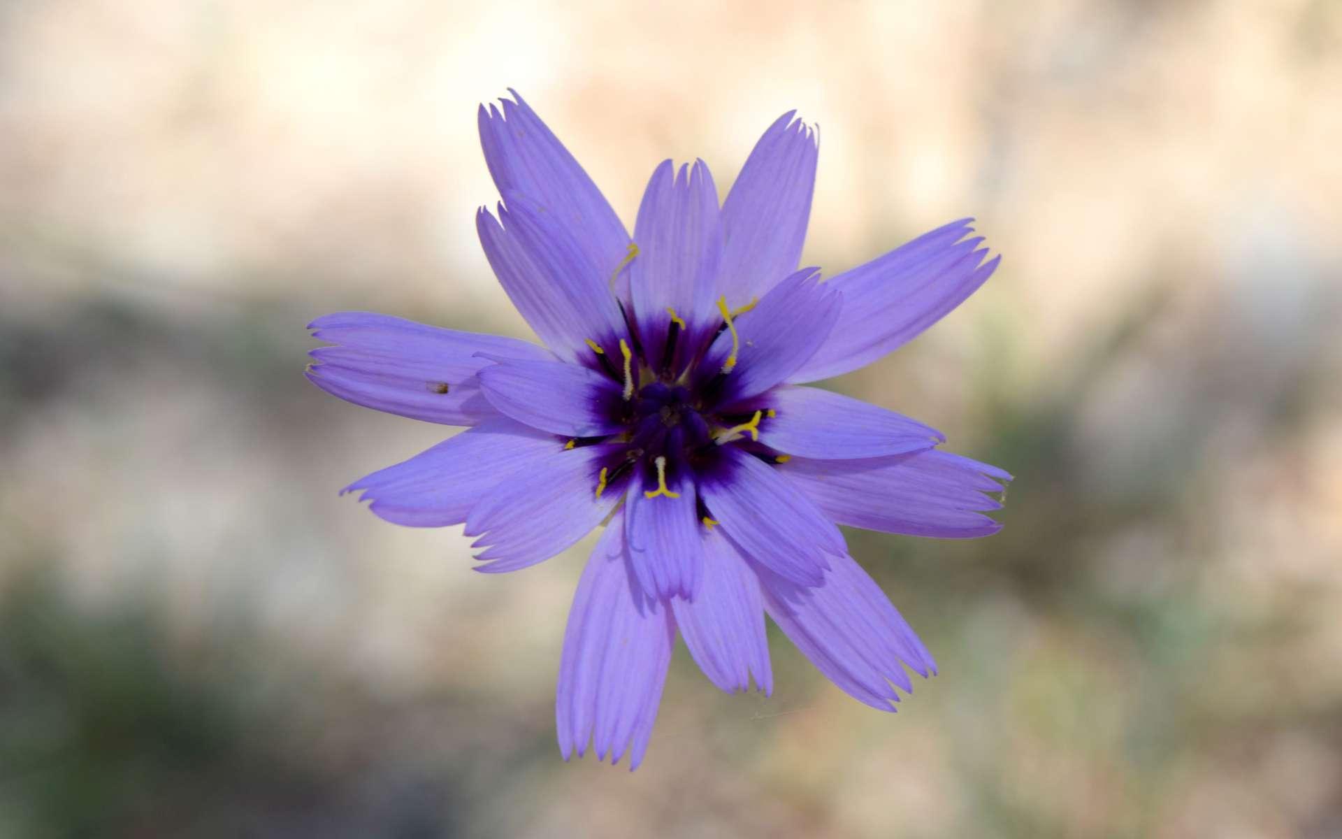 Catananche bleue (Crédits : Léa Charbonnier)
