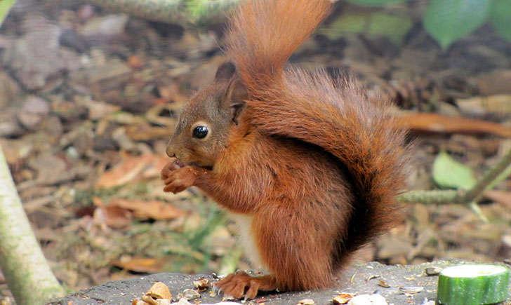 Ecureuil roux (Crédits : Dan_Davison - Flikr)