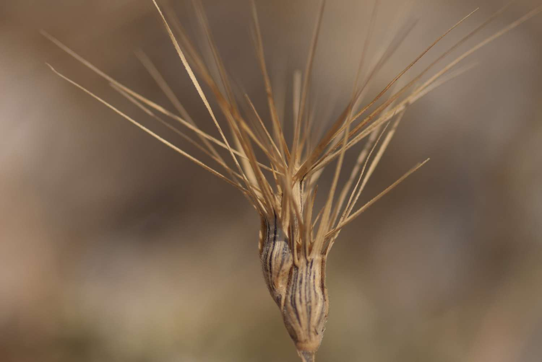 Egilope à inflorescence ovale (Crédits : Cédric Seguin - Natural Solutions)