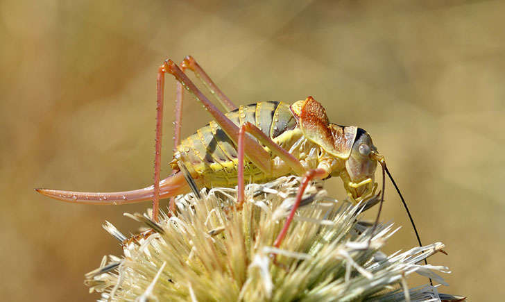 Ephippigère des vignes femelle (Crédits : Gilles San Martin - Flikr)
