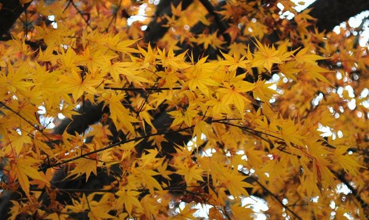 Erable japonais, feuilles d'automne, Credits : Frédérique Voisin-Demery