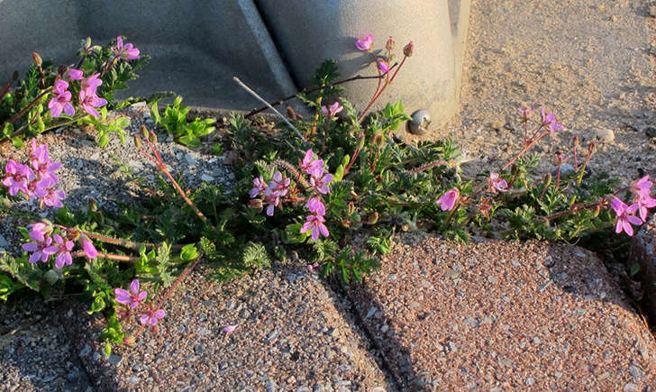 Erodium circutarium (Crédits: K M)