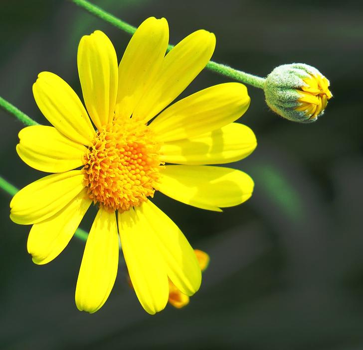 Euryops à fleurs de chrysanthème (créditsEllenChan)