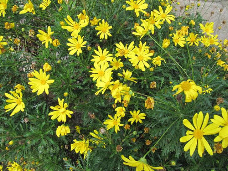 Euryops à fleurs de chrysanthème (crédits Leonora Ellie Enking)