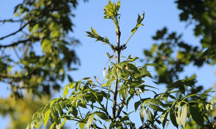 Frêne élevé (crédit: quessoy)