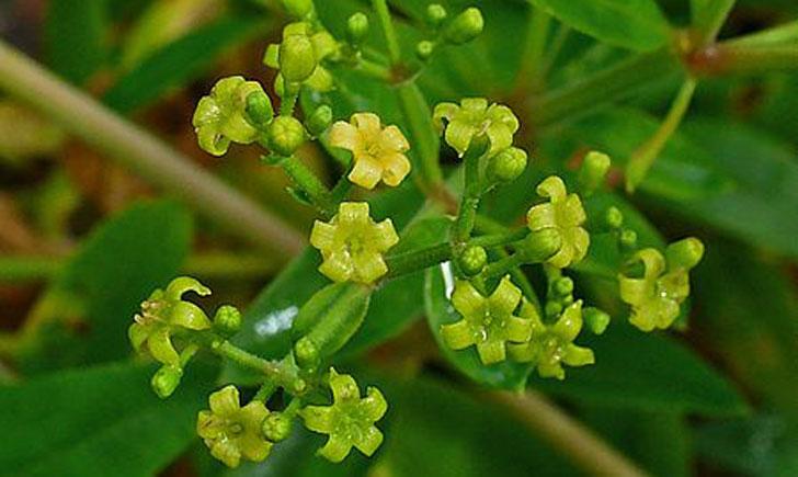 Rubia tinctoria (crédit: H-Zell)