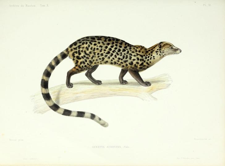 Genette commune (crédits Biodiversity Heritage Library)