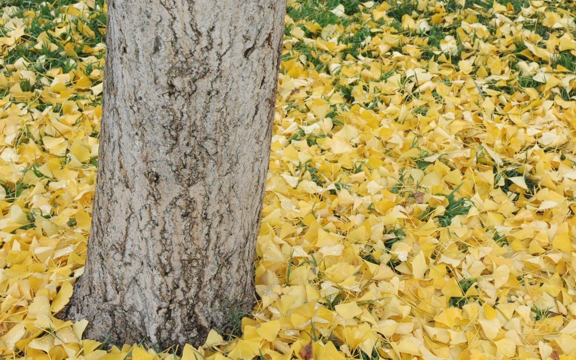 Ginkgo biloba, tronc et feuilles mortes. Crédit: Kern Arneson - Flickr