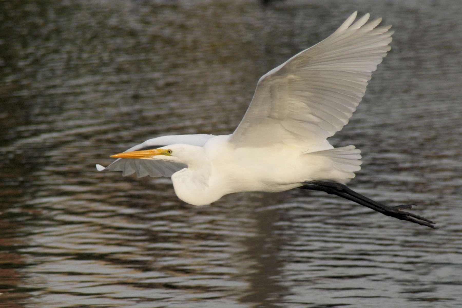Grande aigrette (Ardea alba) en vol