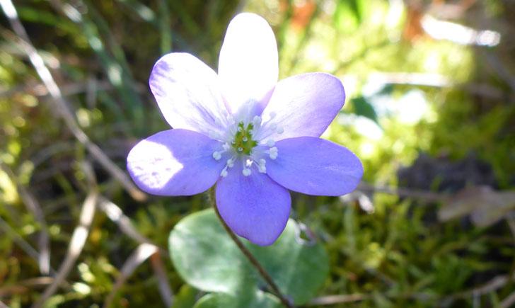 Hepatica nobilis (crédit: Toulourenc Horizon)