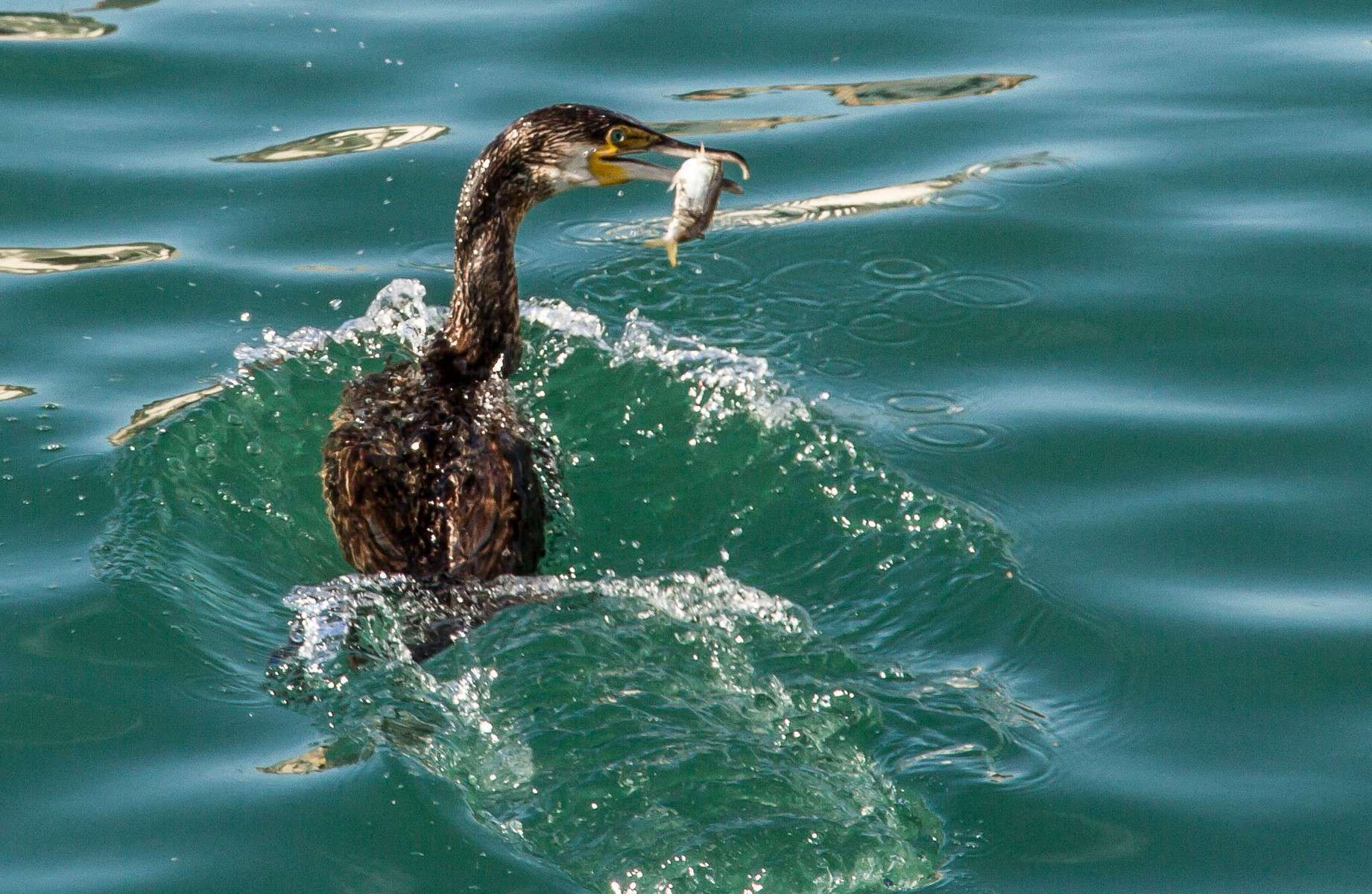 Grand cormoran - Crédit: Bernard Deman