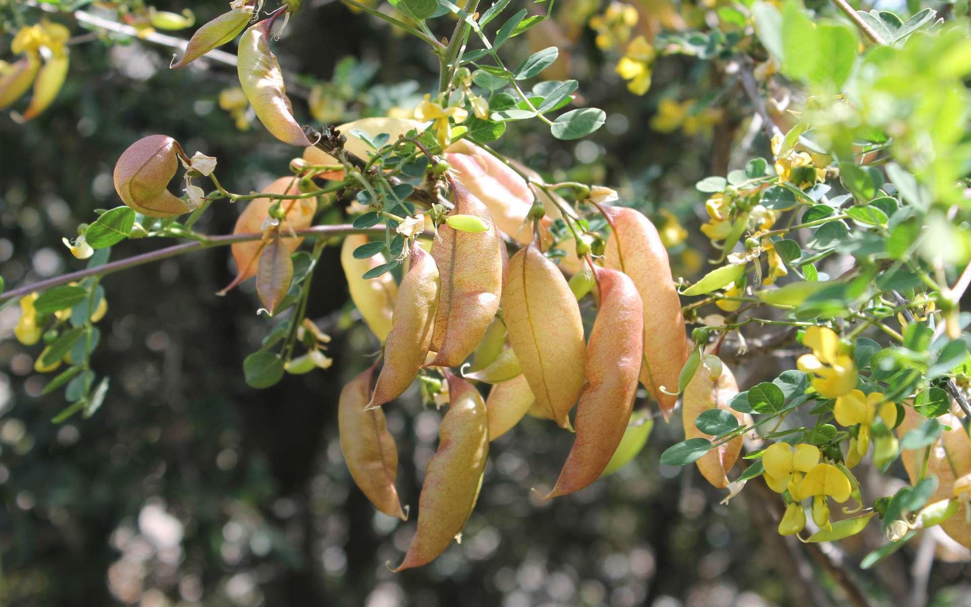 Baguenaudier - fruits (Crédits : Léa Charbonnier)