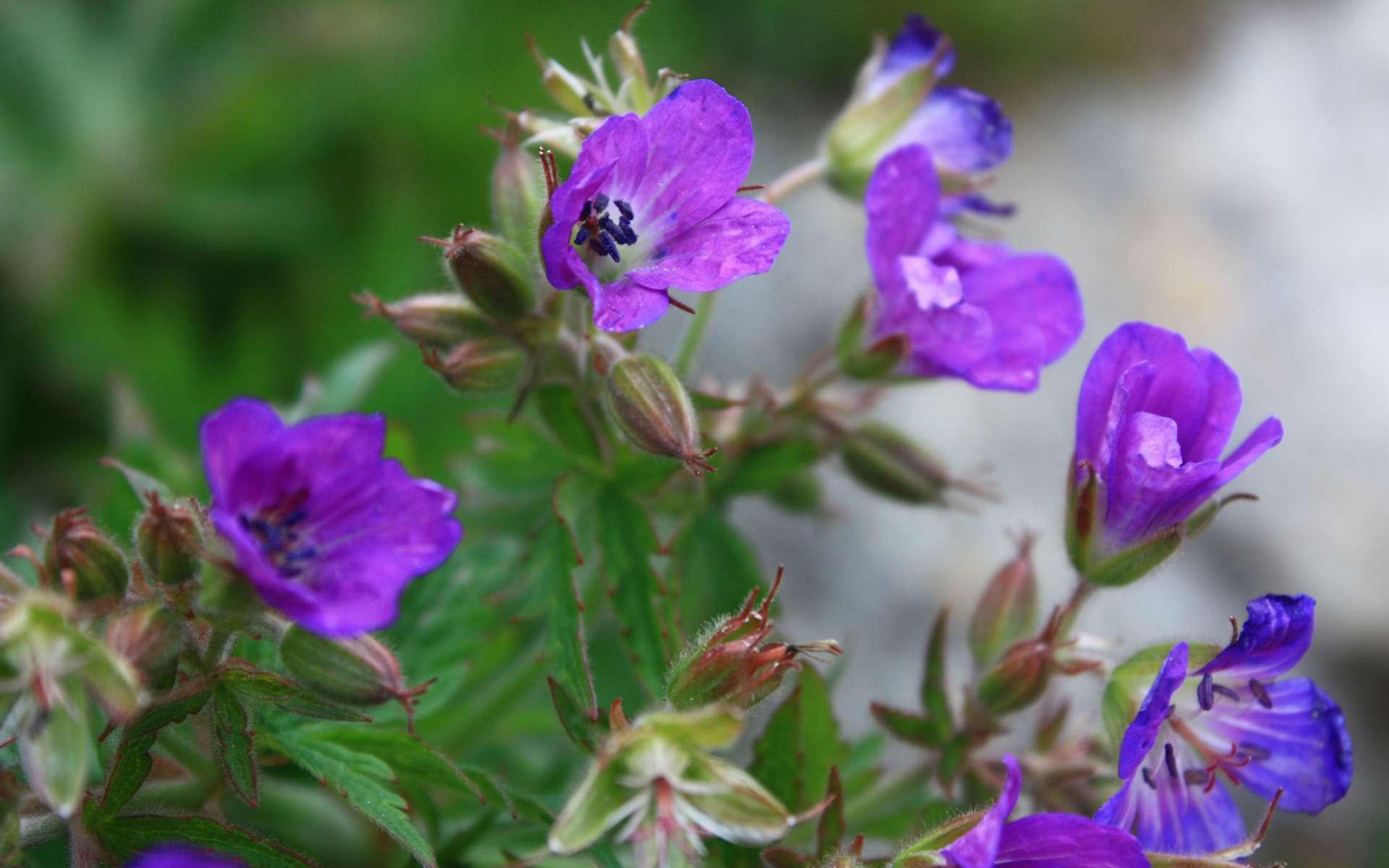 Géranium des bois - fleurs (Crédits : Cyril Gautreau)