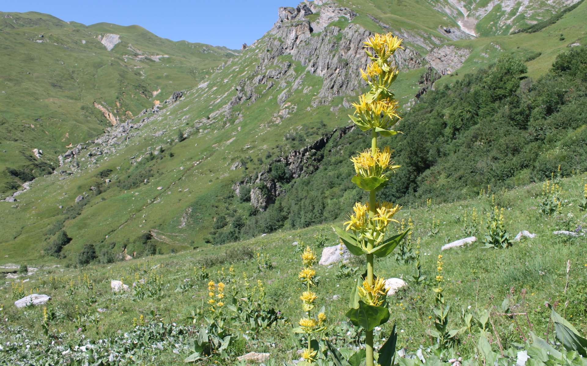 Gentiane jaune (Crédits : Léa Charbonnier)