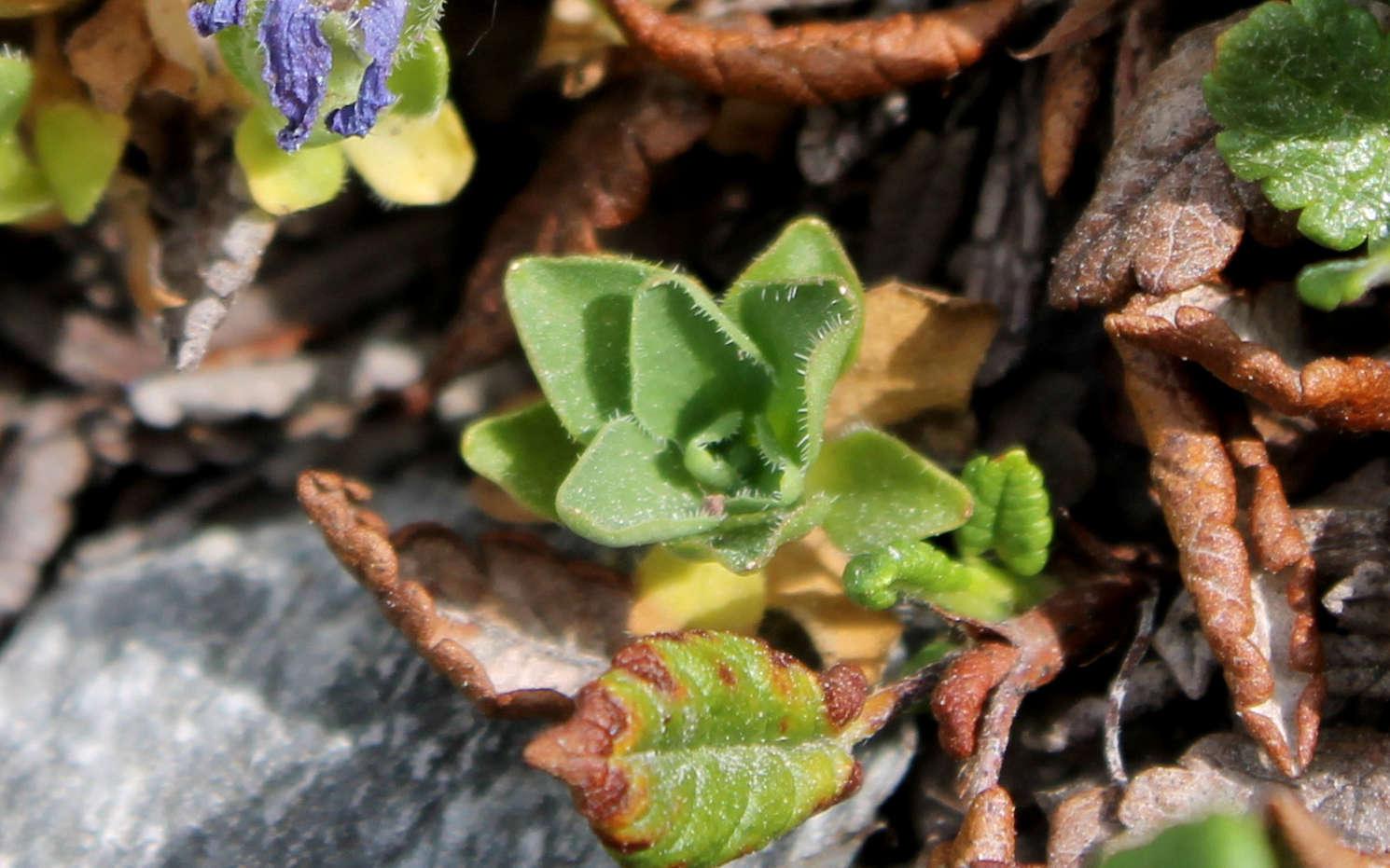 Campanule du Mont Cenis - feuilles en rosette (Crédits : Léa Charbonnier)