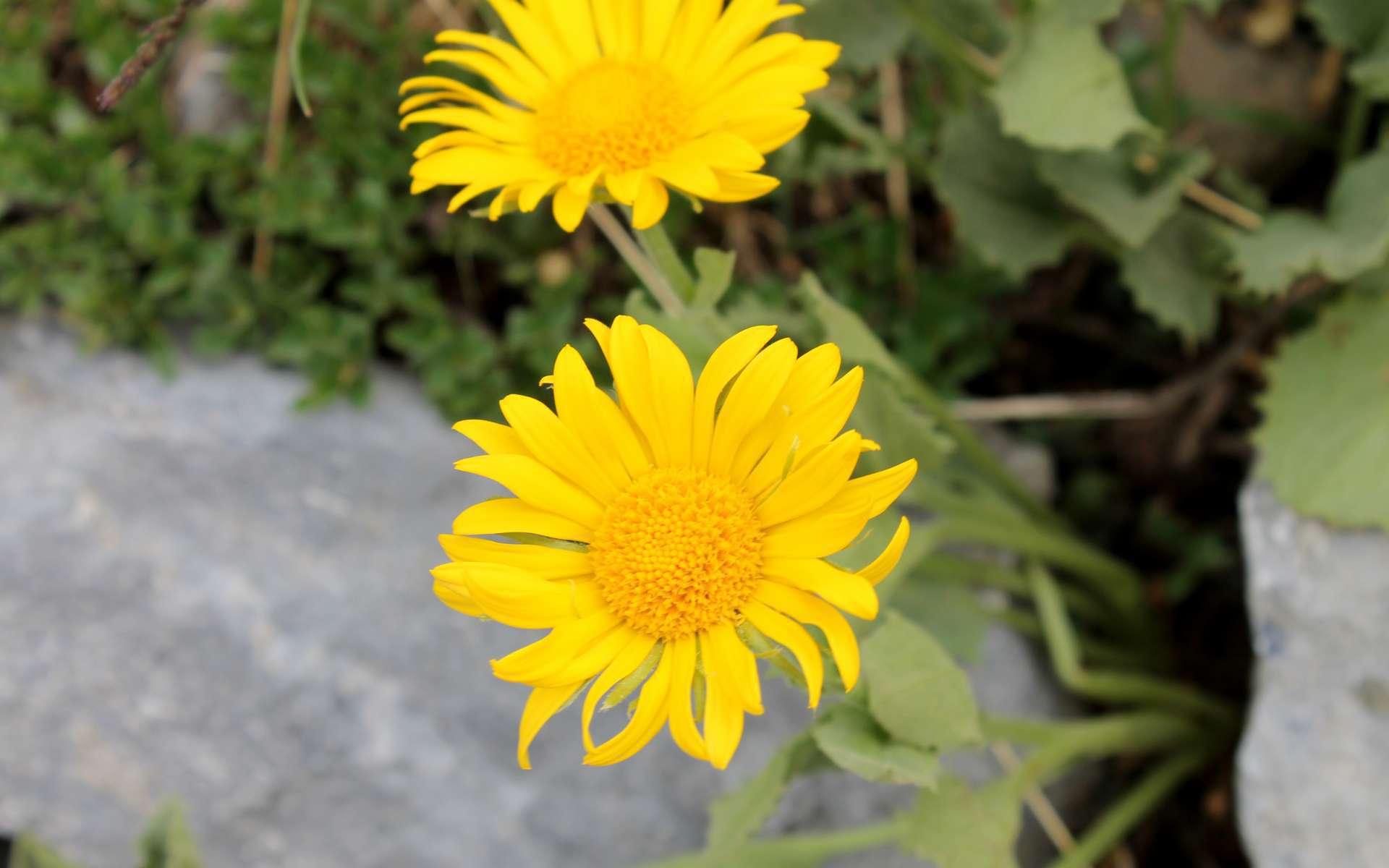 Doronic à grandes fleurs (Crédits : Léa Charbonnier)