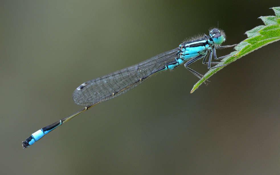 Ischnure élégant (Crédits : Jean Jacques Boujot - flickr)