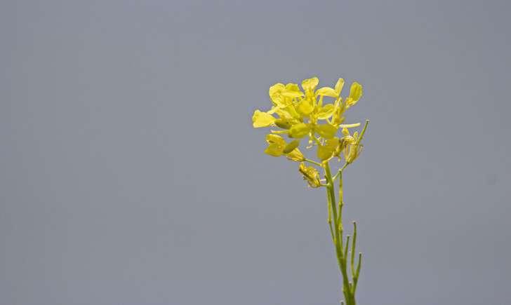 Moutarde des champs - Crédit: Jac Janssen