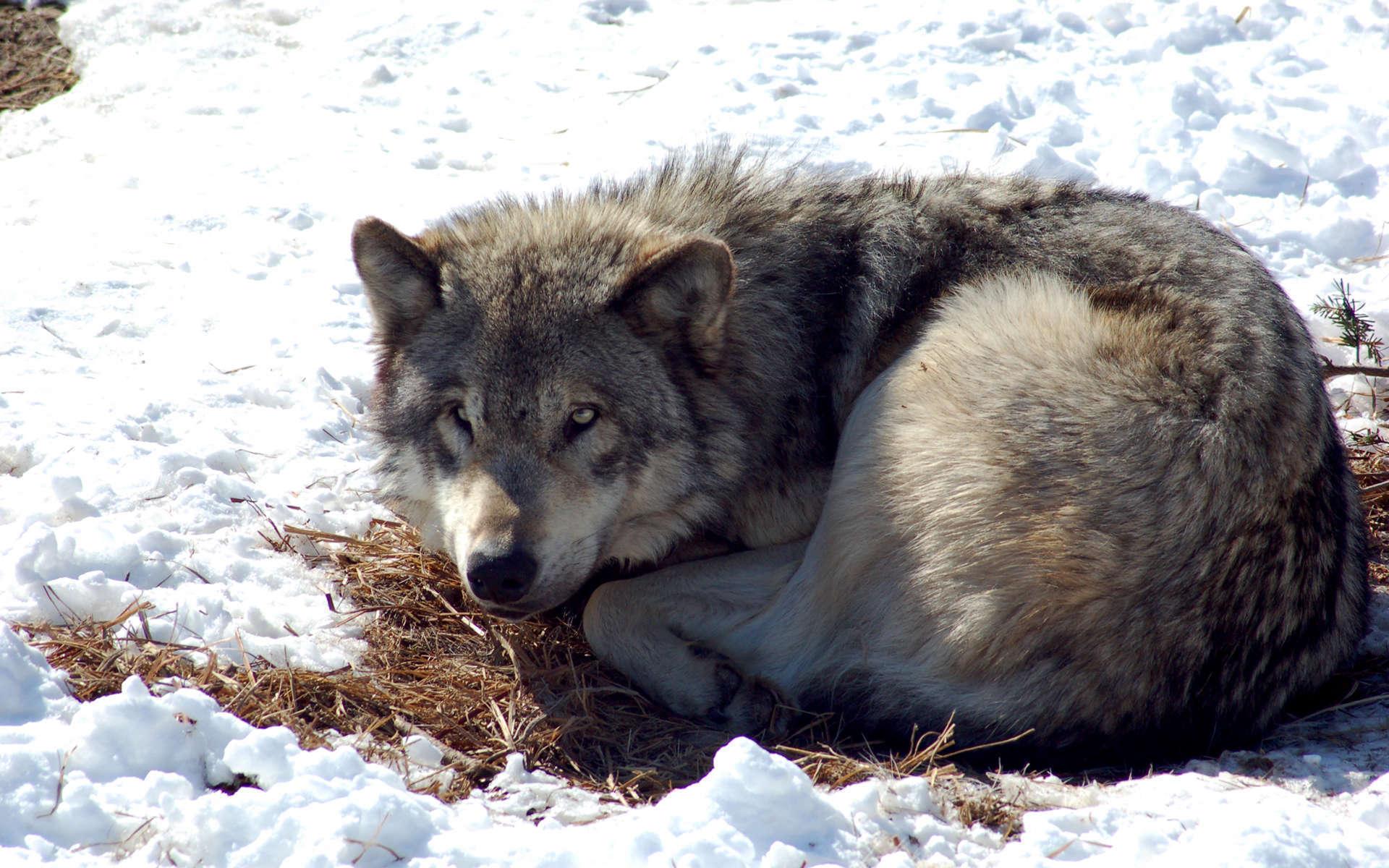 Loup (Crédits: Derek Bakken - Flickr)