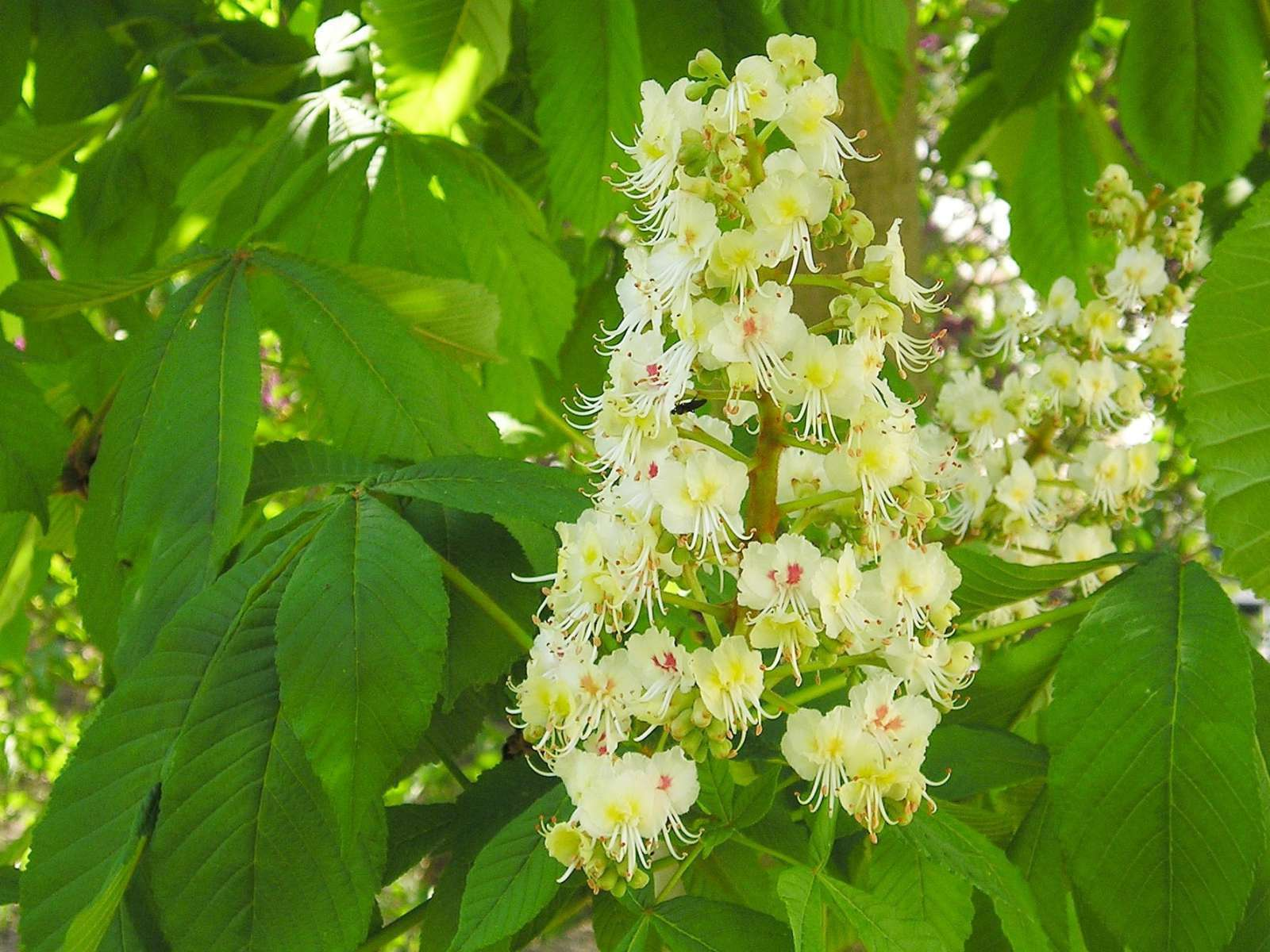 Marronnier - fleurs