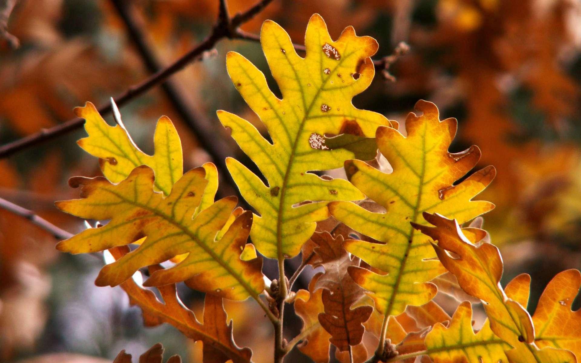 Chêne tauzin (Crédit: Miquel Liop)
