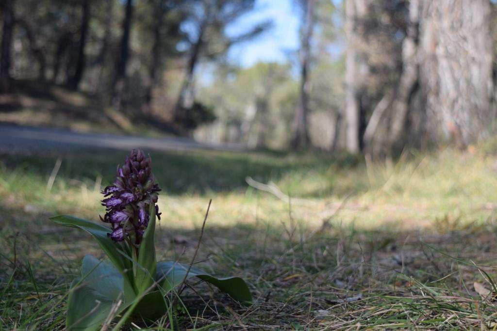 Orchis géant - (Crédit: Sabine Meneut)