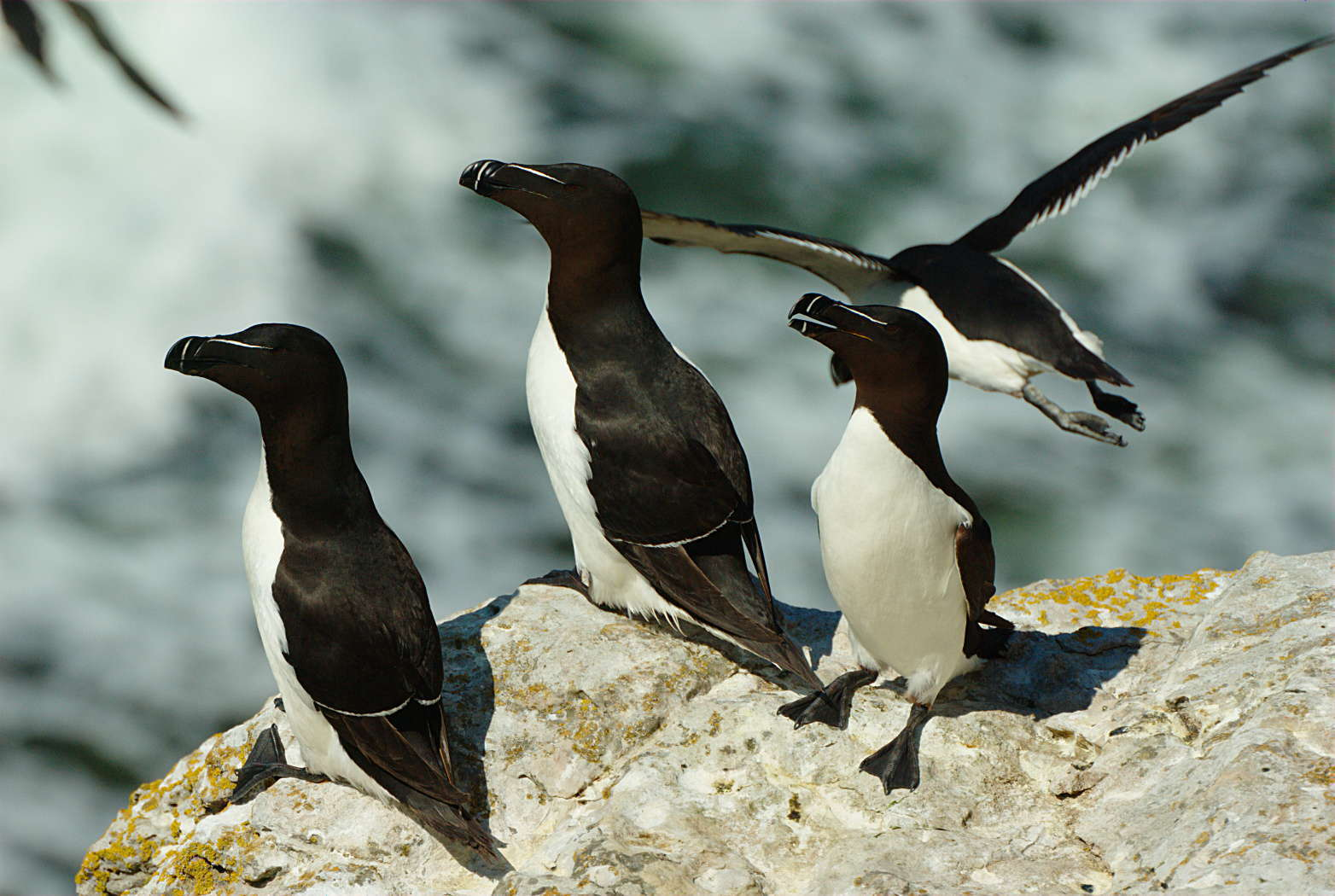 Pingouin torda (Crédits: Stefan Berndtsson - flickr)