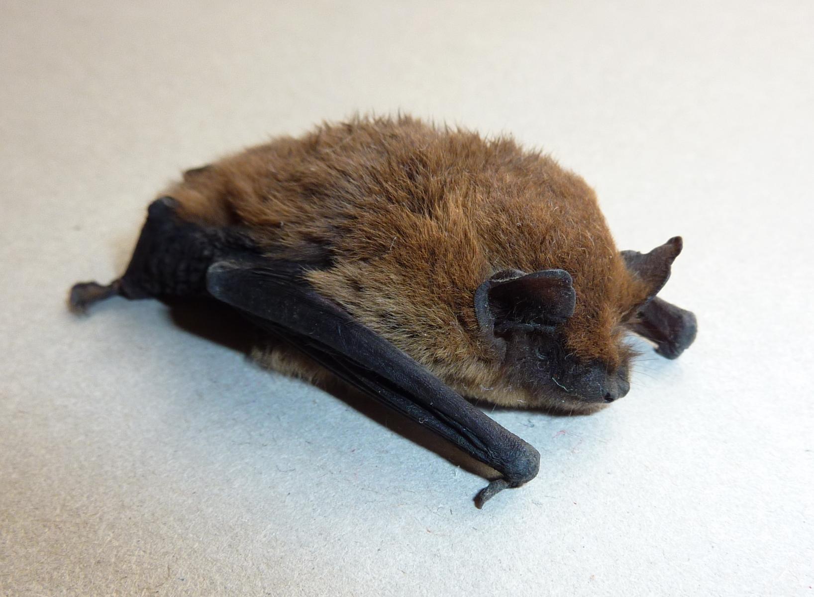 Pipistrelle de Kühl (Crédit : Salix)