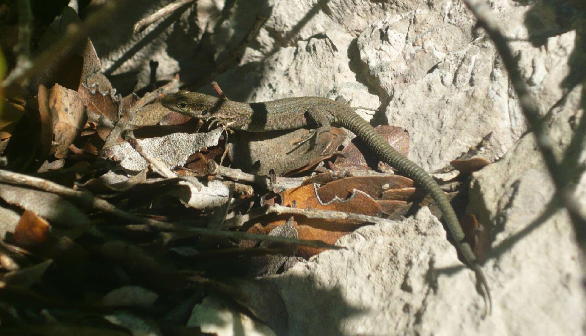 Vue générale de Podarcis liolepsis ©Nicolas Manas