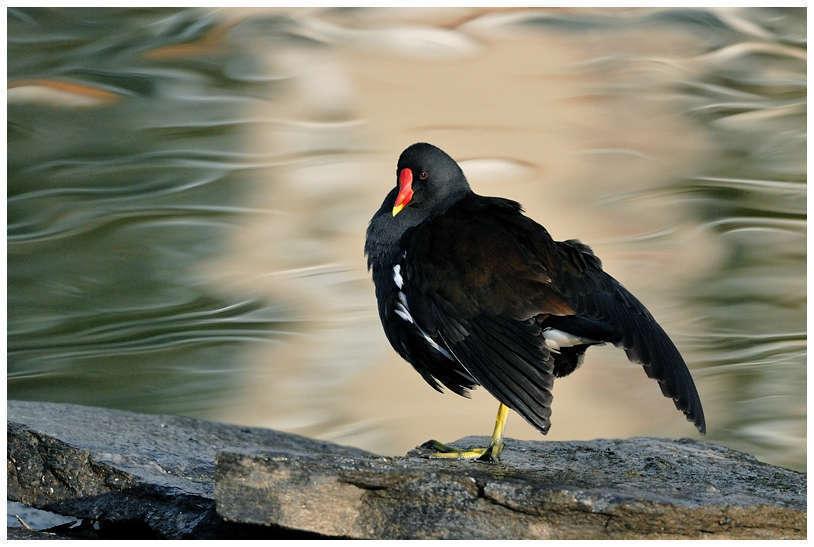 Gallinule poule-d'eau (Crédits: Jean-Jacques Boujot)