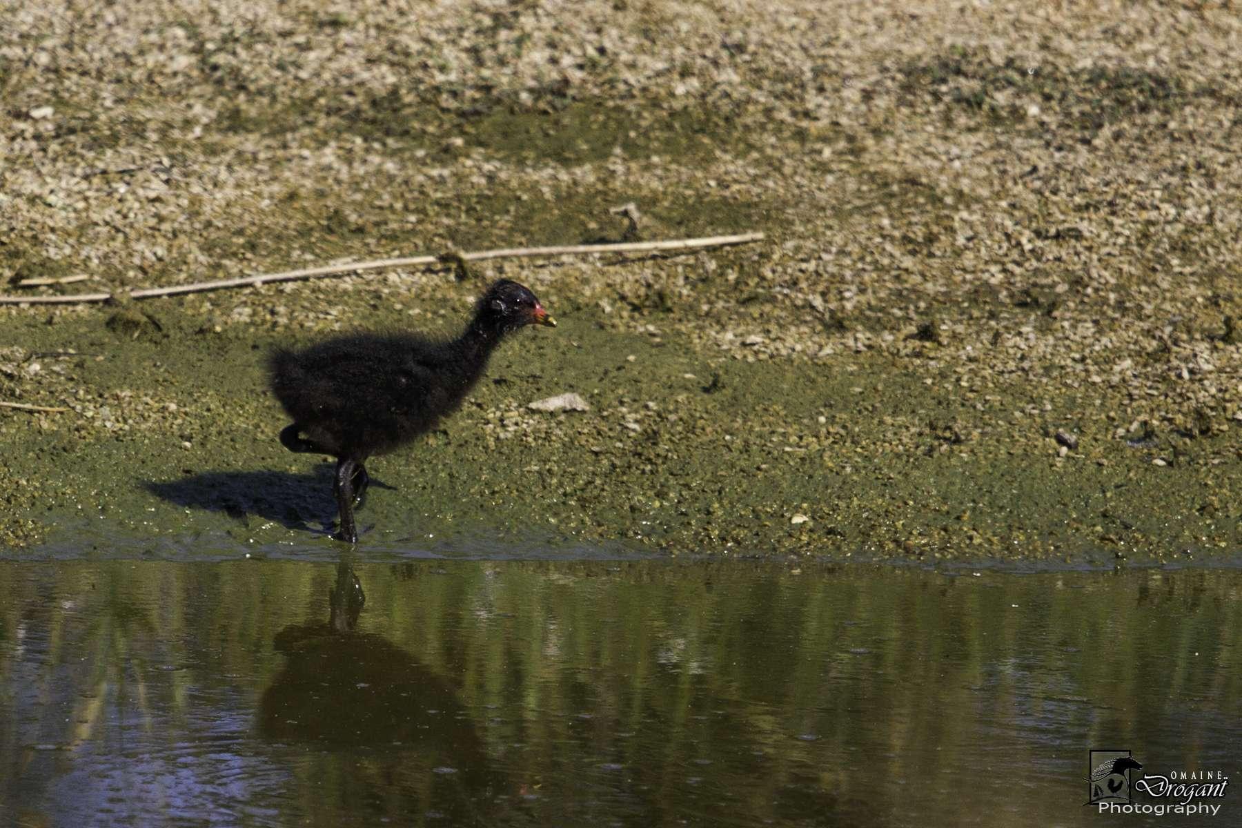 Gallinule poule-d'eau, jeune (Crédits: Jean-Jacques Abalain)