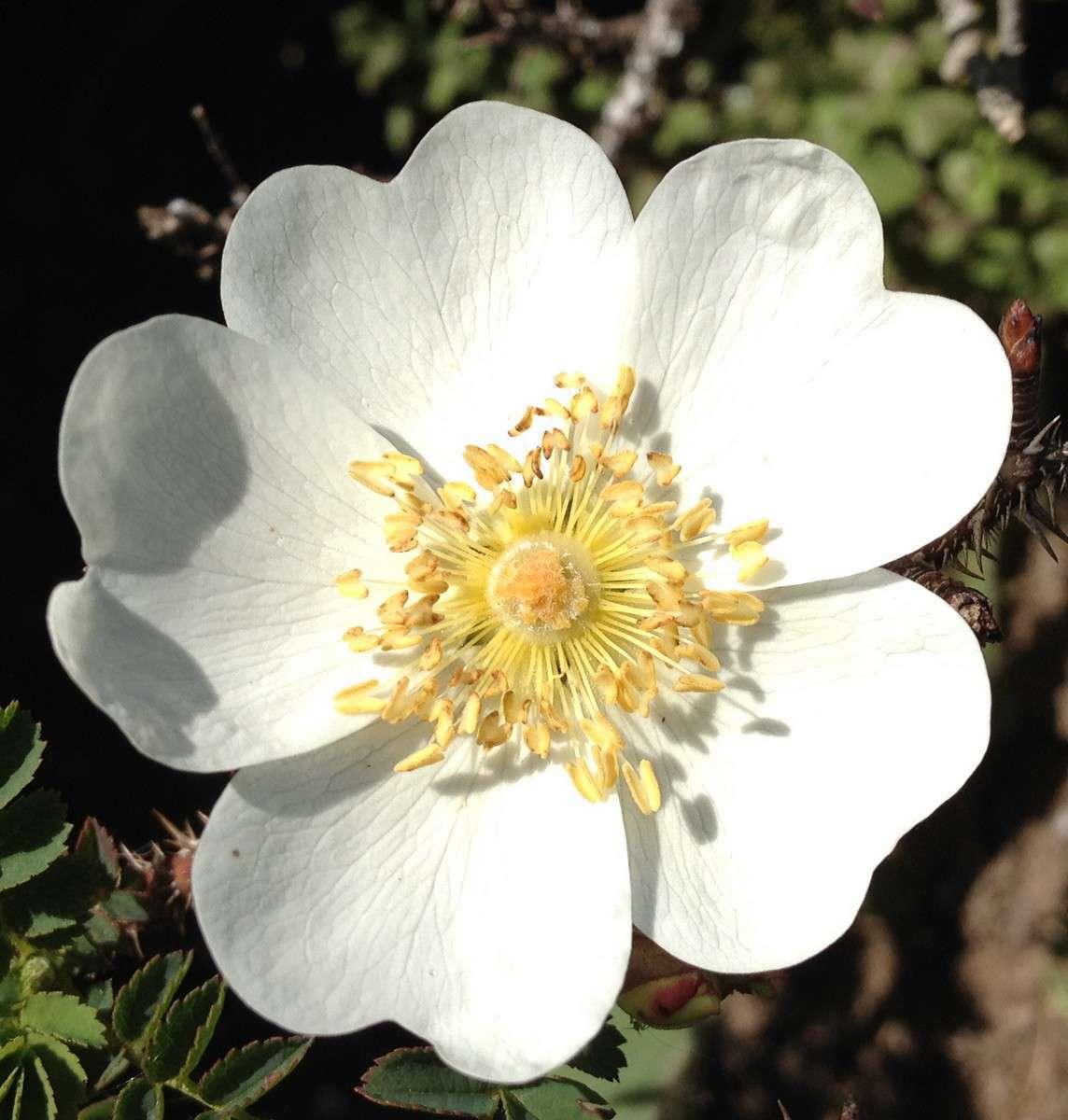 Rose pimprenelle  (Crédit : Dominique Quenin)