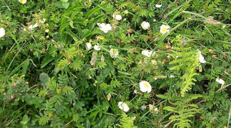 Rose pimprenelle (Crédit : photothèque Bretagne Vivante)