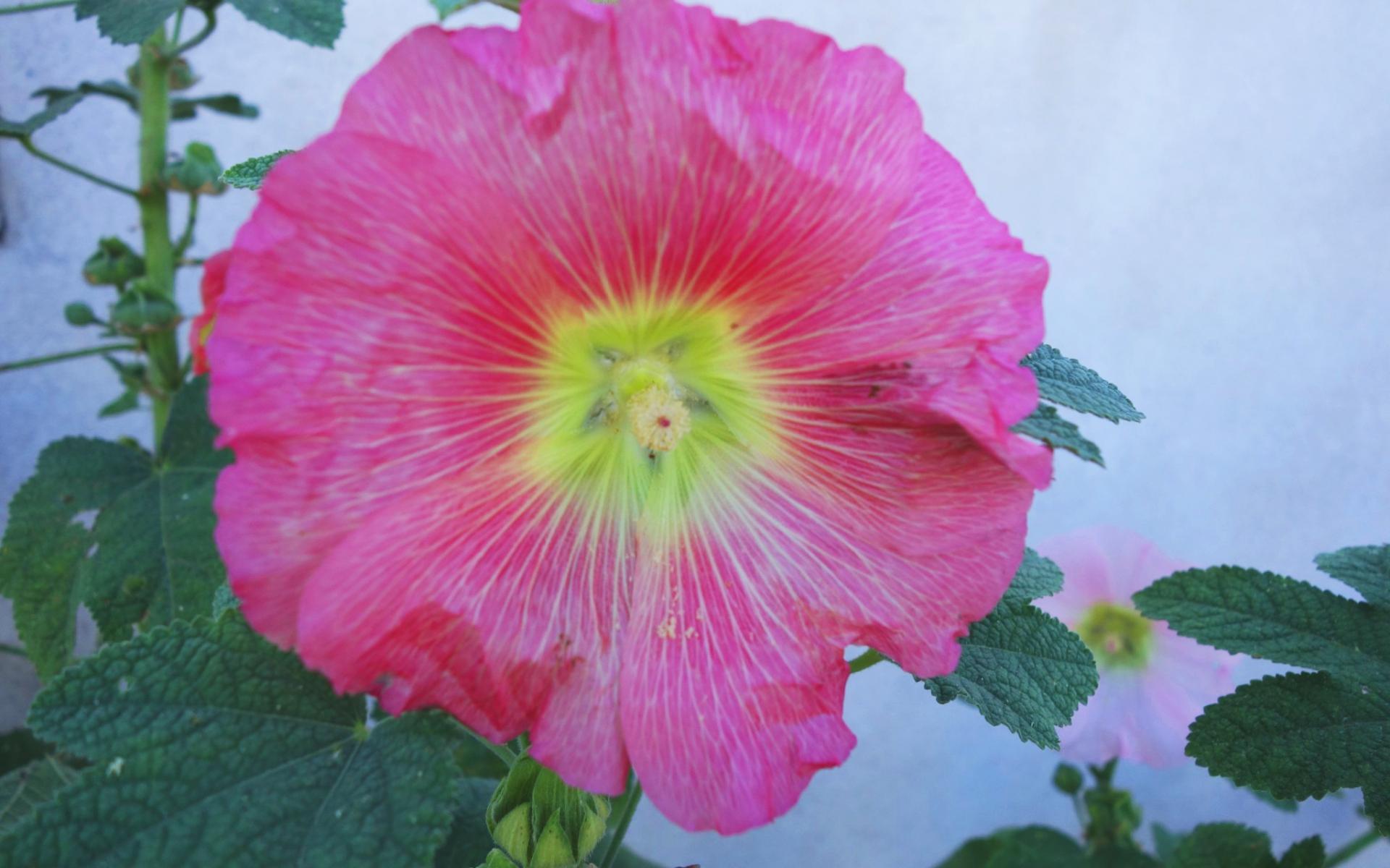 Rose trémière (Crédits : Cyril Gautreau)