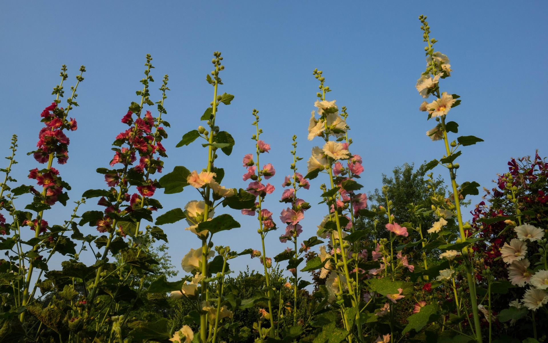 Rose trémière (Crédits : F.D.Richard)